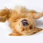 Golden-Retriever-play-dead